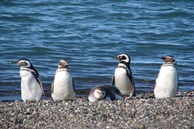 Los pingüinos hembra se quedan varados a lo largo de la costa sudamericana