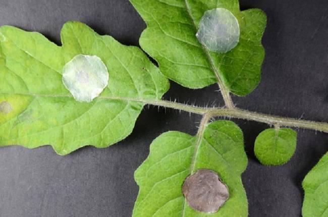 'Tiritas', tecnología verde para curar a las plantas