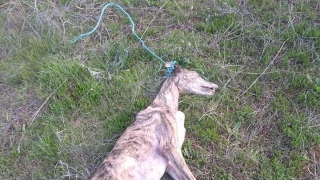 El Seprona investiga el hallazgo de una galga ahorcada en Rociana del Condado (Huelva)