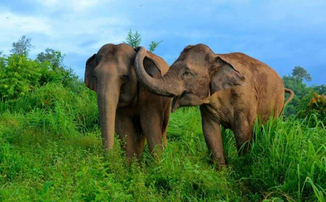 Buscando soluciones para salvar el elefante asiático