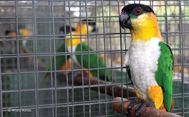 Celebramos la disminución del comercio ilegal de aves tropicales en Sudamérica