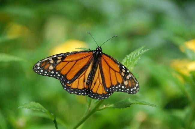 Preservando la Reserva de la Biósfera Mariposa Monarca en México