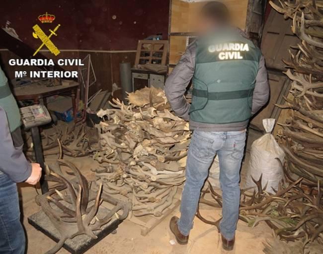 Siete detenidos de tres grupos dedicados a compra y suministro fraudulentos de astas de ciervo y gamo