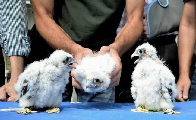 Trece halcones peregrinos nacen en cuatro años en la Torre de electricidad de Puntales, en la Bahía de Cádiz