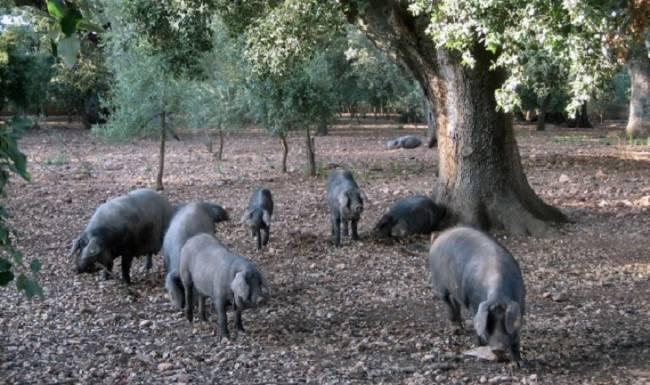 El cerdo negro mallorquín, una opción saludable