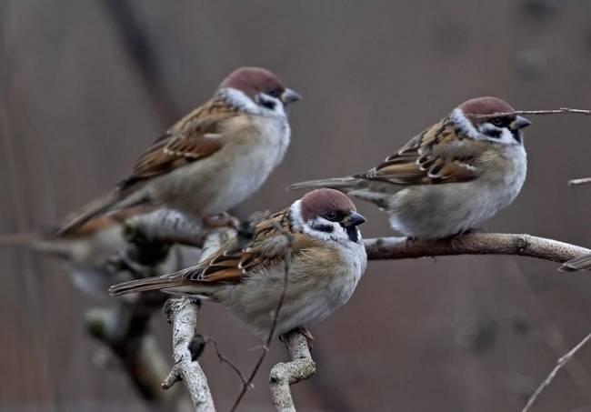 En Fuente de Cantos un delincuente capturó más de 190 pájaros con artes ilegales