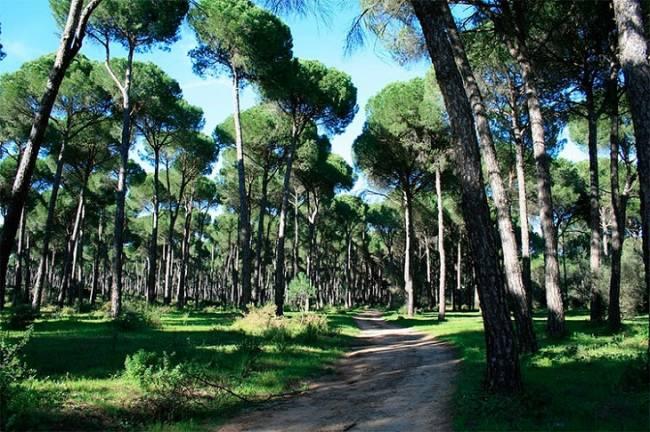 Los bosques de pino del Maresme capa caida