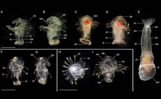 Larvas de gusanos desconocidos halladas en los dos océanos de Panamá