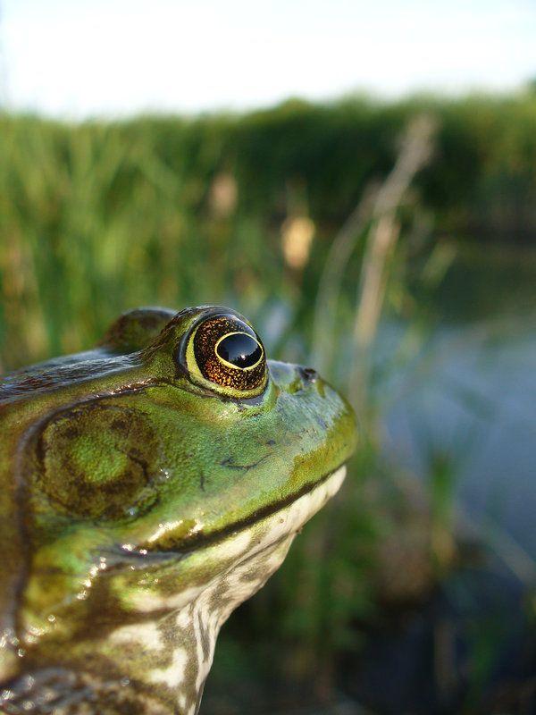 SEO/Birdlife solicita a Generalitat y Gobierno medidas urgentes contra la rana toro en el Delta del Ebro